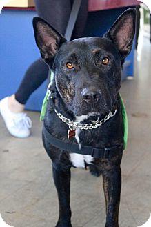 Dutch Shepherd/Bull Terrier Mix Dog for adoption in Los Angeles, California - Rocky