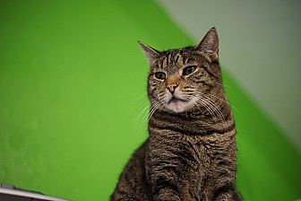 Domestic Shorthair Cat for adoption in Los Angeles, California - Camille