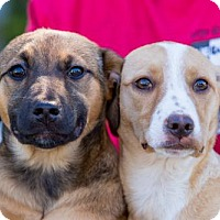 Adopt A Pet :: Poole Puppies - Females - San Diego, CA