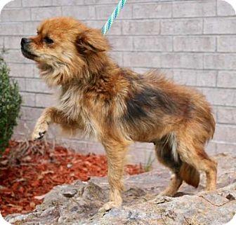 Pomeranian Dog for adoption in Little Rock, Arkansas - Carmen