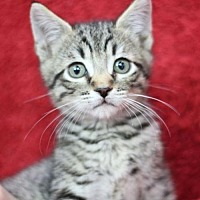 Adopt A Pet :: Frisco K - Raleigh, NC