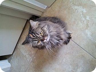Persian Cat for adoption in Tavares, Florida - Princess