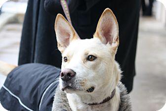 Shepherd (Unknown Type)/Labrador Retriever Mix Dog for adoption in North Wales, Pennsylvania - Falcon