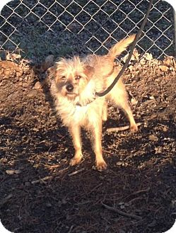 Yorkie, Yorkshire Terrier Mix Dog for adoption in Texico, Illinois - Missy - 10 lbs