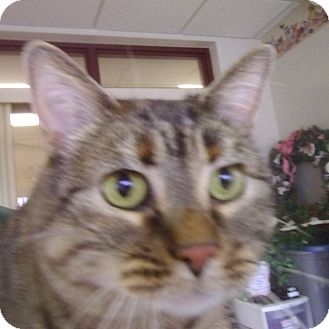 Domestic Shorthair Cat for adoption in Muscatine, Iowa - Winry