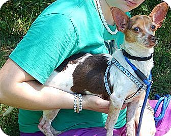 Chihuahua/Terrier (Unknown Type, Small) Mix Dog for adoption in Williamsport, Maryland - Jasper (8 lb) Great Family Pet