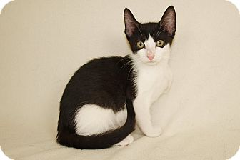 Domestic Shorthair Kitten for adoption in Jackson, Mississippi - Rudy