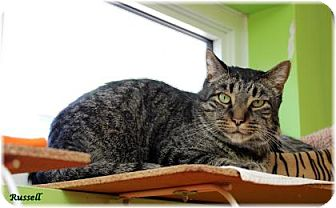 Domestic Shorthair Cat for adoption in Welland, Ontario - Russell