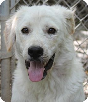 Great Pyrenees Mix Puppy for adoption in Savannah, Missouri - Luke