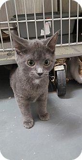 Domestic Shorthair Kitten for adoption in Umatilla, Florida - Dewey