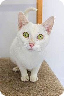 Domestic Shorthair Cat for adoption in Baltimore, Maryland - Lady Godiva