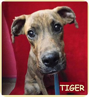 Boxer/Beagle Mix Dog for adoption in Batesville, Arkansas - Tiger