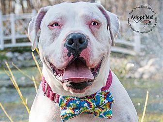 American Bulldog/Pit Bull Terrier Mix Dog for adoption in Gilbertsville, Pennsylvania - CASPER BLUE-EYED HUNK