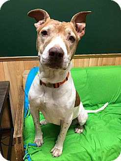 Pit Bull Terrier Mix Dog for adoption in Maryville, Missouri - Alexis