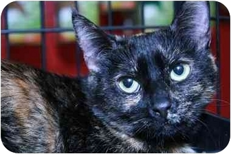 Domestic Shorthair Cat for adoption in La Canada Flintridge, California - Mamacella