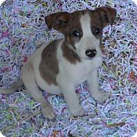 Adopt A Pet :: Patches - Chewelah, WA