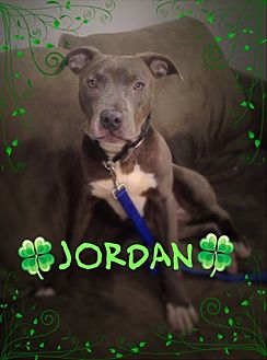 Pit Bull Terrier Mix Dog for adoption in Brookhaven, New York - Jordan