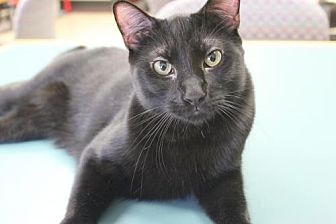 Domestic Shorthair Cat for adoption in Los Angeles, California - Moosh