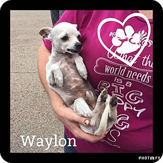 Chihuahua Mix Dog for adoption in Snyder, Texas - Waylon