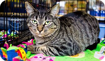 Domestic Shorthair Cat for adoption in Mooresville, North Carolina - A..  Scarlet