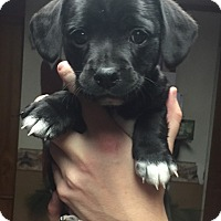 Adopt A Pet :: Pup Trio - Morgantown, WV