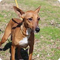 Adopt A Pet :: Beatrice - Conway, AR