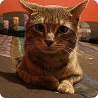 Domestic Shorthair Cat for adoption in Chicago Heights, Illinois - Ryker