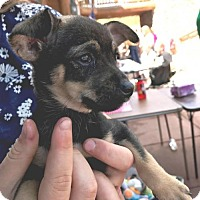 Adopt A Pet :: Lotus - Westminster, CO