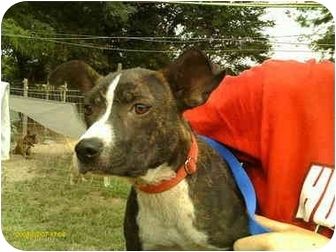 American Pit Bull Terrier Puppy for adoption in Emory, Texas - Trudy
