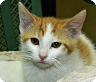 Domestic Shorthair Kitten for adoption in Cheyenne, Wyoming - Wattson