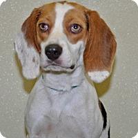 Adopt A Pet :: Petunia - Port Washington, NY