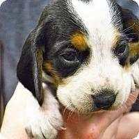 Adopt A Pet :: Dorie - Lake Odessa, MI