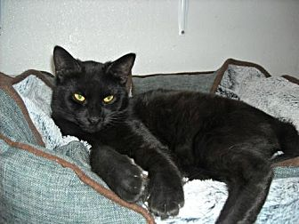 Domestic Shorthair Kitten for adoption in Spring Lake, New Jersey - Huey