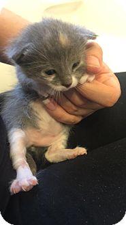 American Shorthair Kitten for adoption in Overland PArk, Kansas - Baby Girl 1