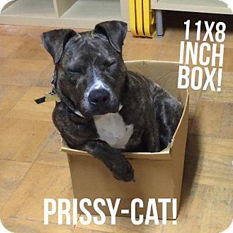 American Pit Bull Terrier/Boxer Mix Dog for adoption in Richmond, California - Priscilla
