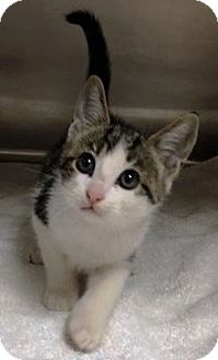 Domestic Shorthair Kitten for adoption in Chattanooga, Tennessee - Dak