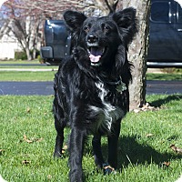 Adopt A Pet :: Hank-SPONSORED - Naperville, IL