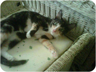 Calico Cat for adoption in Los Angeles, California - Kali