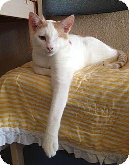Domestic Shorthair Cat for adoption in Fountain Hills, Arizona - BLINK