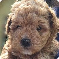 Adopt A Pet :: Sofie - La Costa, CA