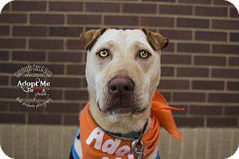 Shar Pei Mix Dog for adoption in Charlotte, North Carolina - Kahuna