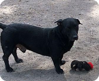 Basset Hound/Labrador Retriever Mix Dog for adoption in Brownsville, Texas - Zeus