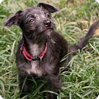 Adopt A Pet :: Charleston - Norwalk, CT