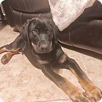 Adopt A Pet :: Puppy Nick - Austin, TX
