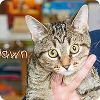 Domestic Shorthair Cat for adoption in Somerset, Pennsylvania - Dawn