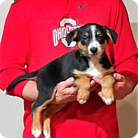 Adopt A Pet :: Snickers - South Euclid, OH