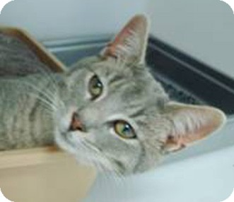 Domestic Shorthair Cat for adoption in Merrifield, Virginia - Frost