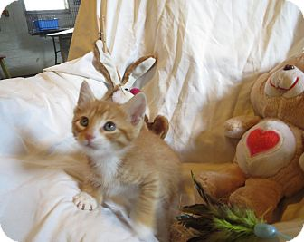 Domestic Shorthair Kitten for adoption in Geneseo, Illinois - Jacob