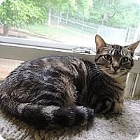 Domestic Shorthair Cat for adoption in House Springs, Missouri - Manolo Blahnik
