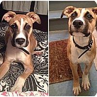 Adopt A Pet :: Buddy - Montreal, QC